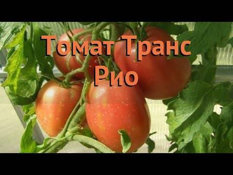 Томат транс новинка: характеристика и описание сорта, урожайность с фото