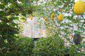 Как вырастить ароматную вкусную дыню в средней полосе