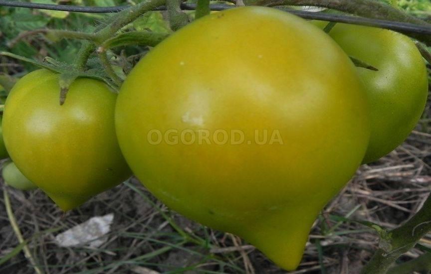 Томат моравское чудо: описание и характеристика сорта, выращивание и уход с фото
