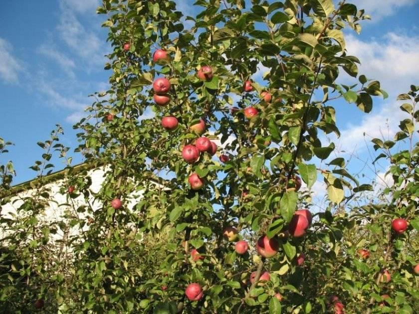 Яблоня сорта лобо – привет из канады