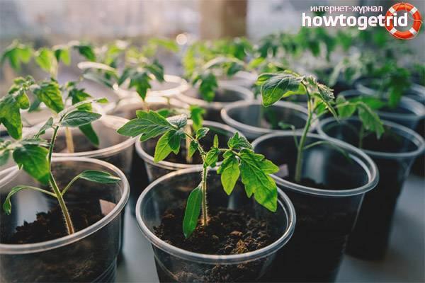Томат аргонавт: описание раннего сорта помидоров, фото и отзывы, кто сажал