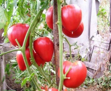 Томат «чудо земли»: характеристика и описание сорта, урожайность, фото, отзывы