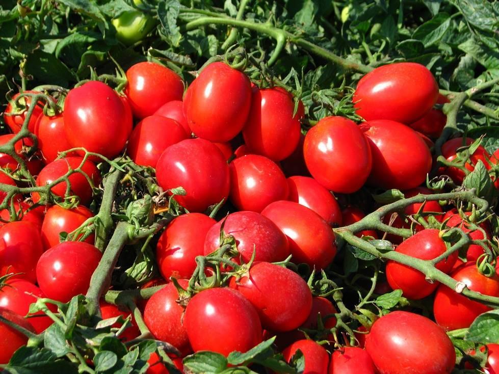 Сорт помидор райское наслаждение фото