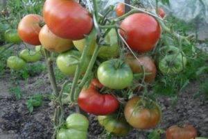 Характеристика и описание сортатомата сливка, его урожайность
