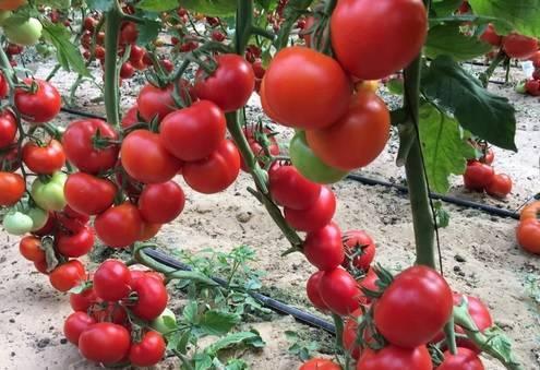 Характеристика и описание сорта томата Марс F1, урожайность
