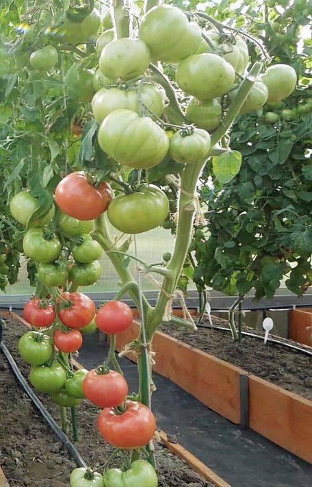 Как выращивать томат «империя»