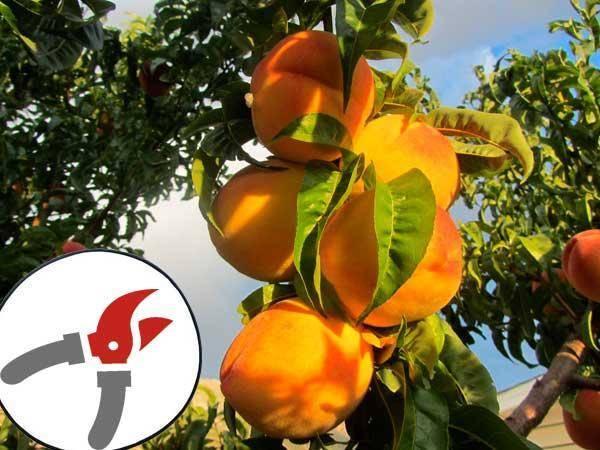 Почему обрезка для персика обязательна?
