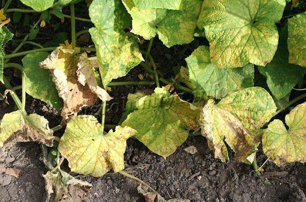 Желтеют листья огурцов в теплице что делать
