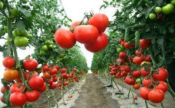 11 самых урожайных сортов томатов для открытого грунта и высокоурожайные гибриды