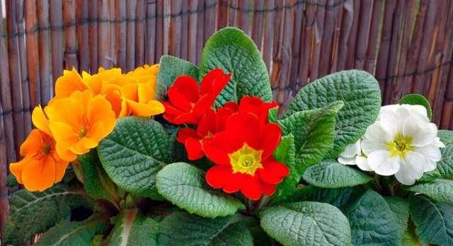 Примула комнатная: выращивание и уход