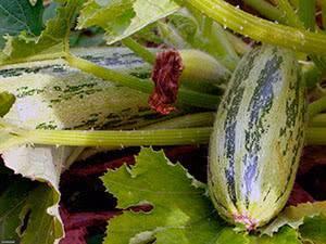 Правильный уход и технология выращивания кабачков в открытом грунте