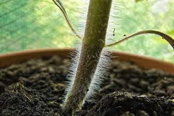 Вредители огурцов в теплице и открытом грунте: описание, фото, меры борьбы