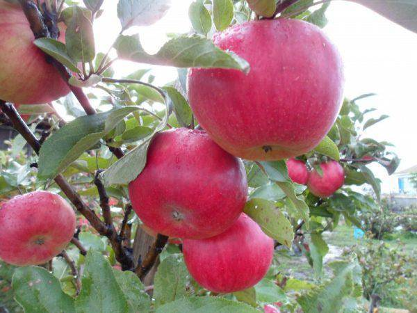 Сорт яблони «васюган» — выращивание и уход