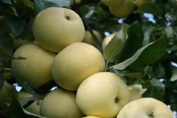 Описание сорта яблони Феникс Алтайский, преимущества и недостатки, урожайность