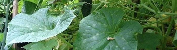 Болезни и вредители огурцов в теплице и открытом грунте: причины и лечение