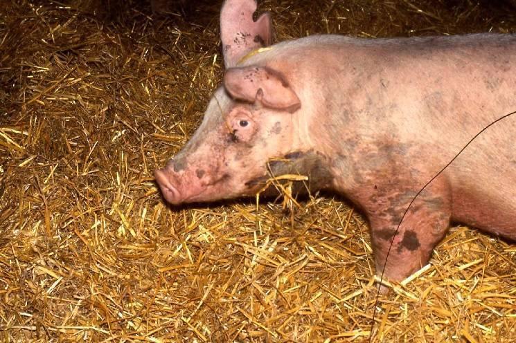Болезни свиней: симптомы и лечение, признаки