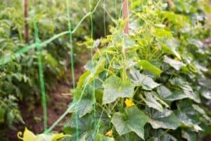 Применение табачной пыли для комнатных растений от вредителей