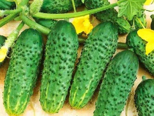 Урожайные и популярные сорта огурцов для теплиц из поликарбоната