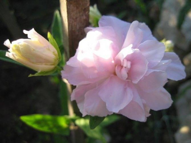 Дерево катальпа: описание и виды растения
