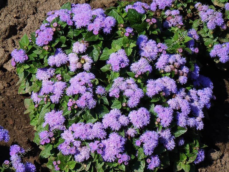 Цветы агератум: посадка и уход в открытом грунте