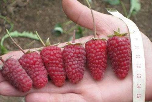 Описание и характеристики сорта малины Атлант, посадка и размножение