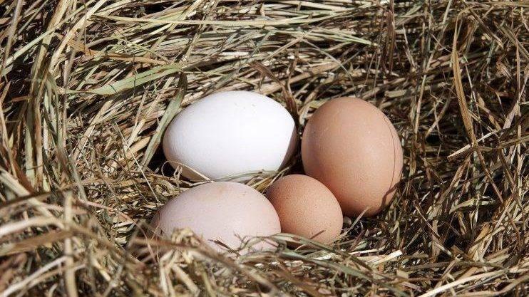 Почему не несутся куры или как устранить причины низкой яйценоскости?