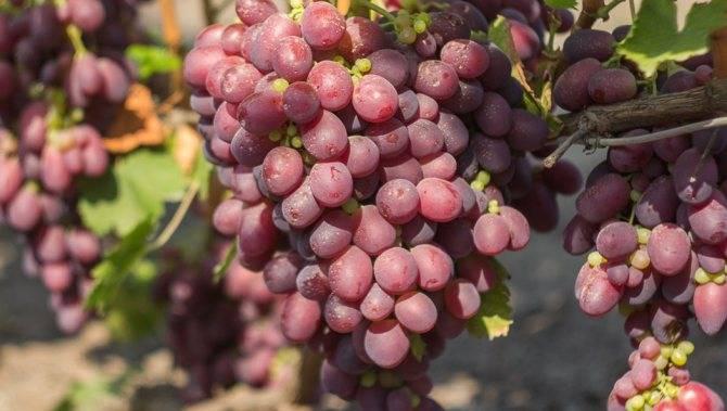 Описание и история селекции винограда сорта сенатор, преимущества и недостатки