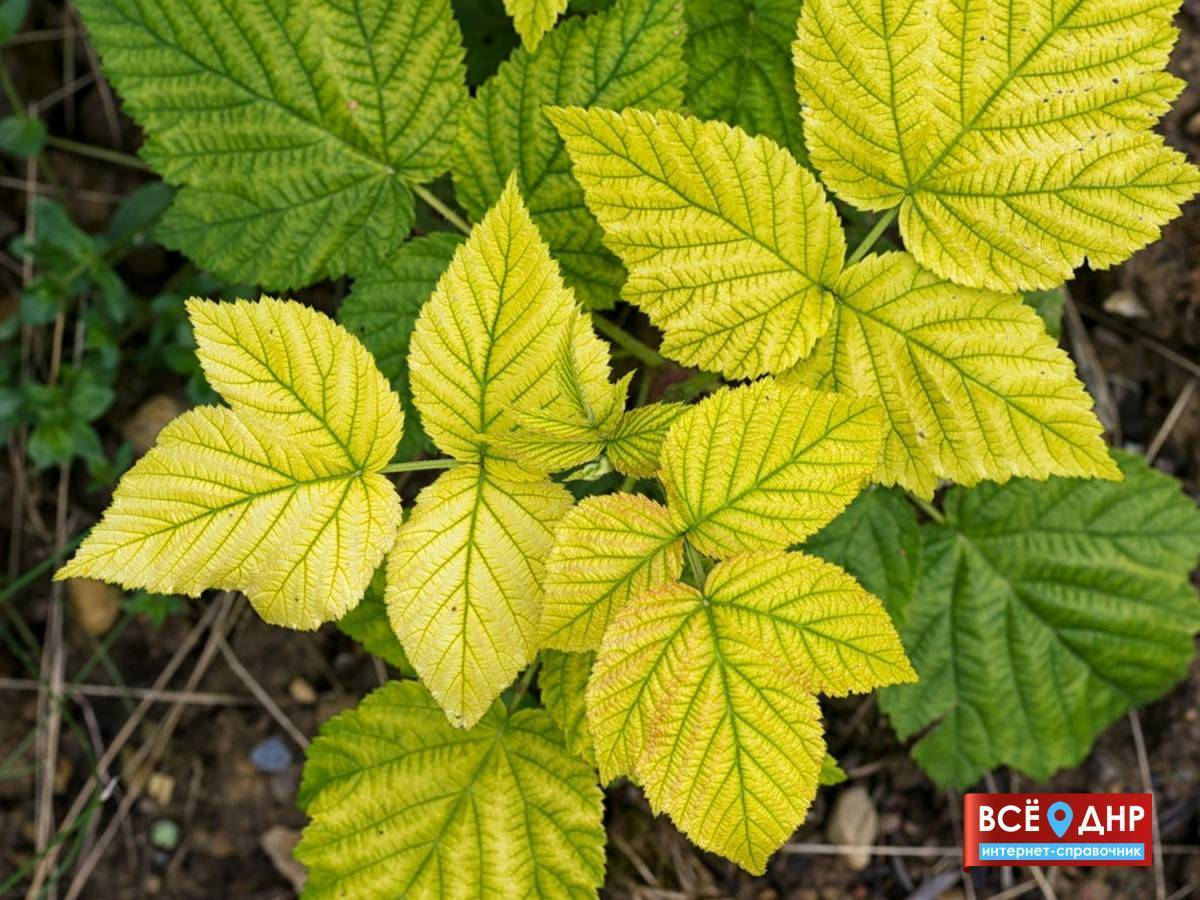Почему краснеют листья у клубники? что делать, если у клубники краснеют листья?