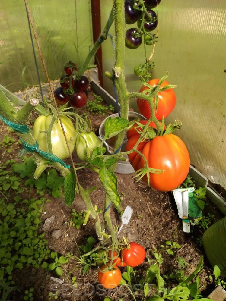 Томат аполлон: описание сорта, характеристики и урожайность с фото