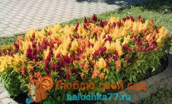 Целозия — выращивание из семян, посадка и уход