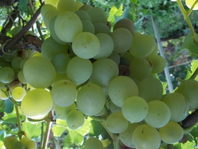 Виноградины в полсотни грамм — сорт тянь-шань родом из японии