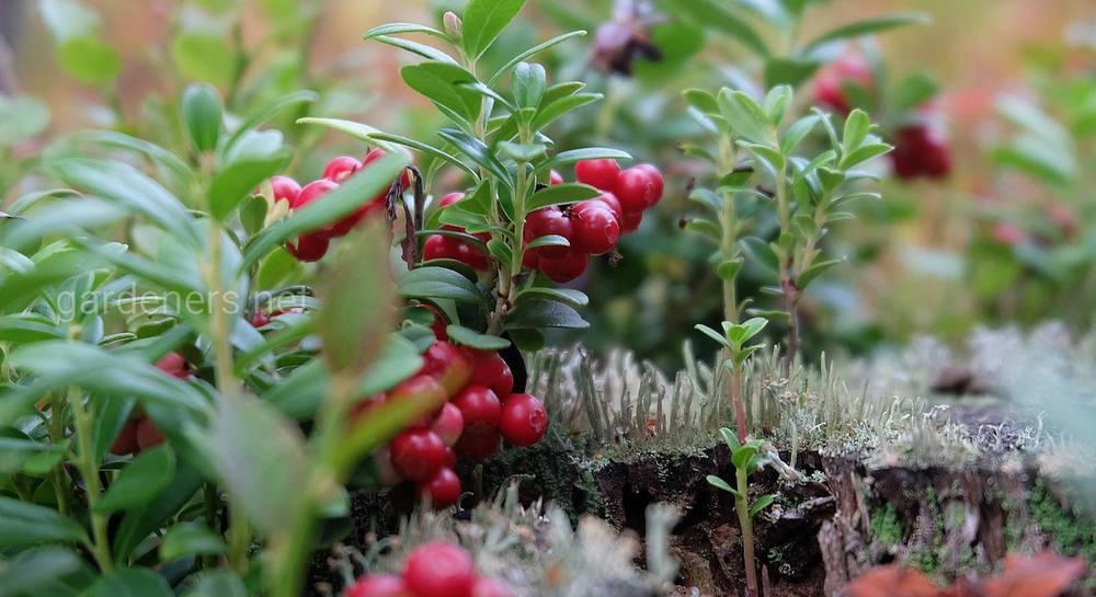 Заготовки из брусники на зиму – 17 рецептов вкусных и полезных закаток