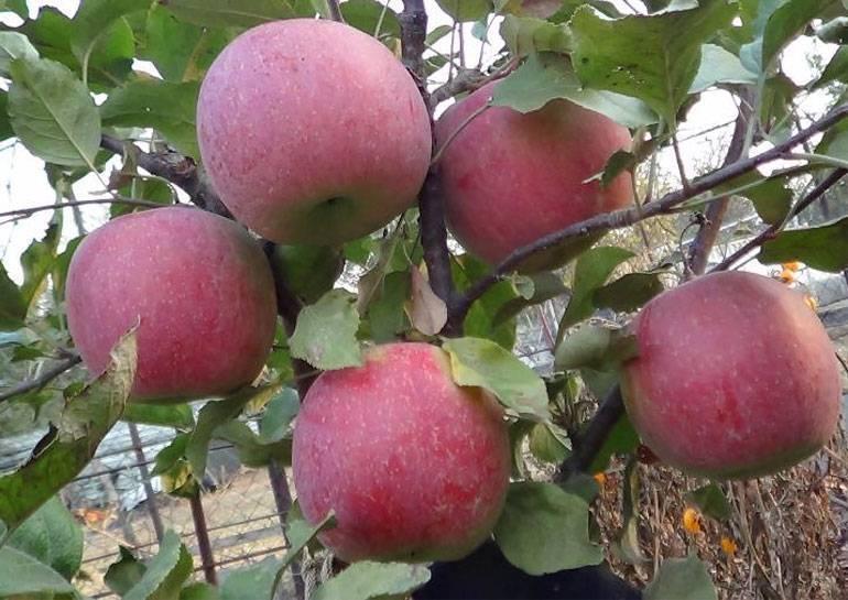 Идеальные для повидла и желе яблоки сорта курнаковский