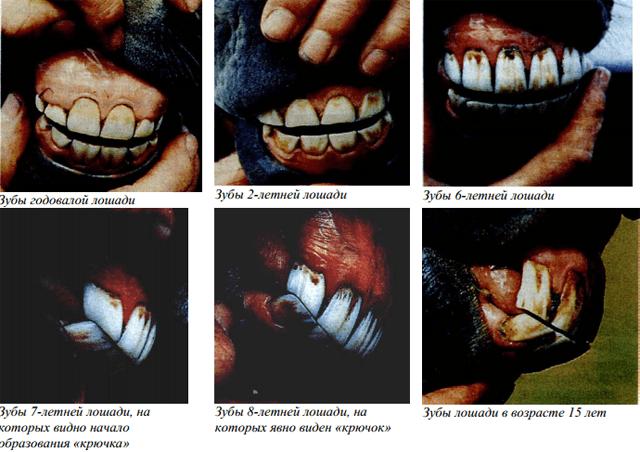 Выпадают ли у лошадей зубы. зубы у лошади: анатомия, определение возраста. уход за зубами