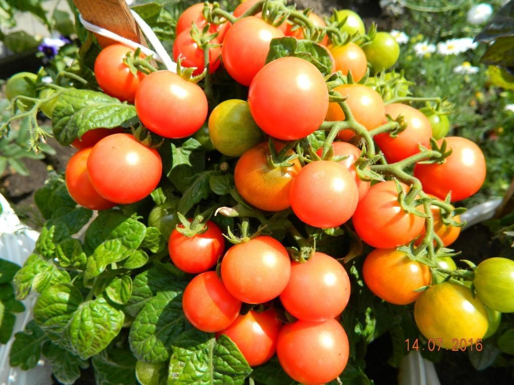 Описание сорта томата Королевская мантия, его урожайность и правила выращивания