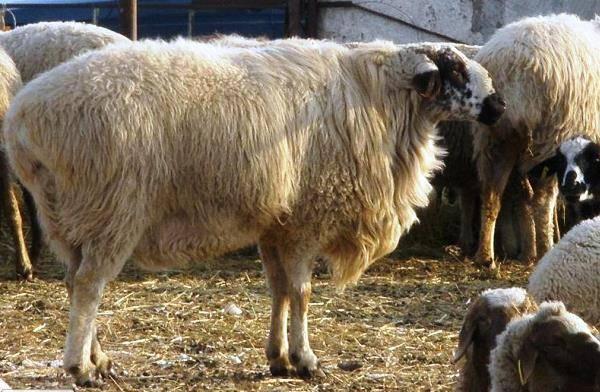 Гиссарская порода овец: описание, уход и размножение