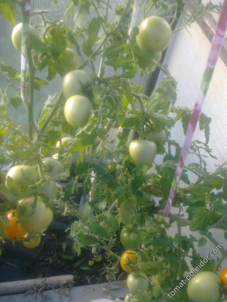 Описание сорта томата Златова, его характеристика и выращивание