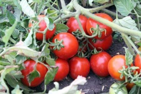 Характеристика и описание сорта томата Мечта огородника, его урожайность