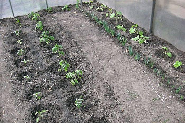 Чтобы в теплице выросли хорошие томаты —  популярные схемы посадки, рекомендации для разных сортов