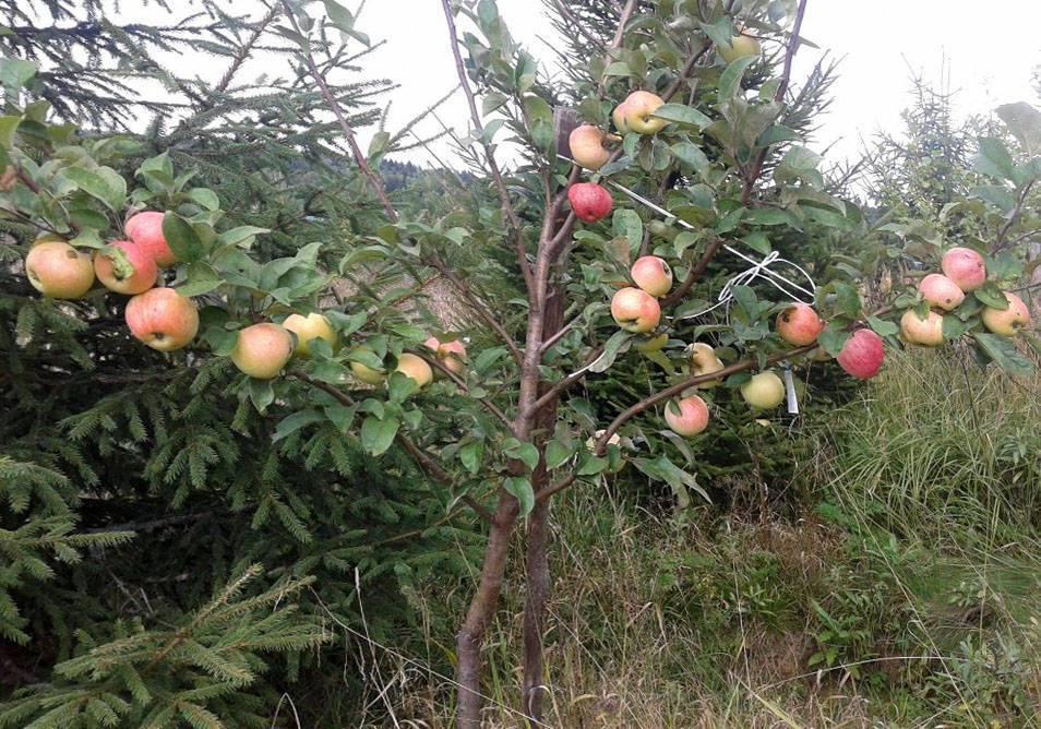 Описание и характеристики летнего сорта яблони Мальт Багаевский