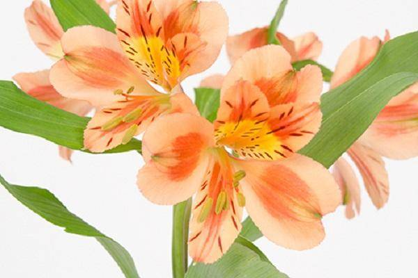 Цветы альстромерия, выращивание
