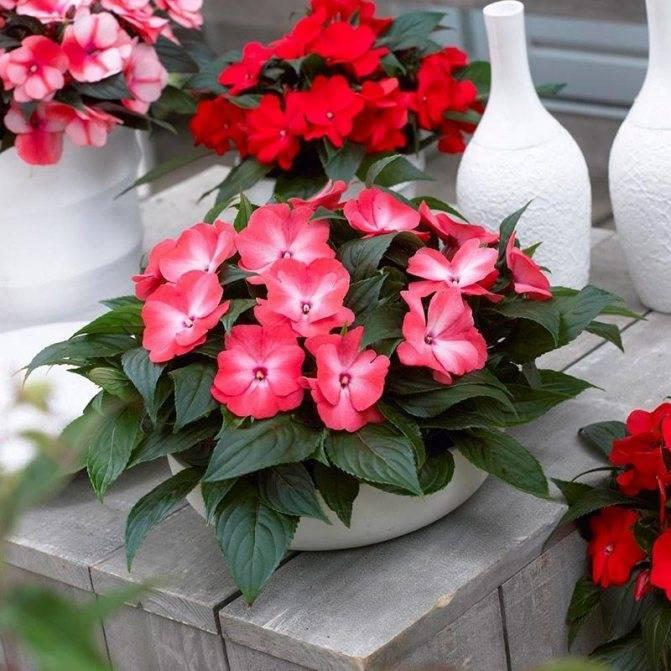 Почему у бальзамина опадают бутоны и цветы: причины и меры борьбы