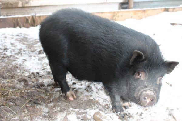 Содержание и рацион кормления вьетнамских вислобрюхих свиней