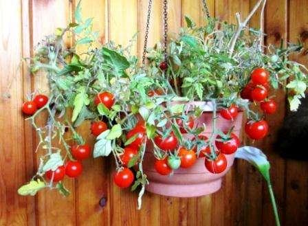 Огурец «балконный f1» – выращивание на окне