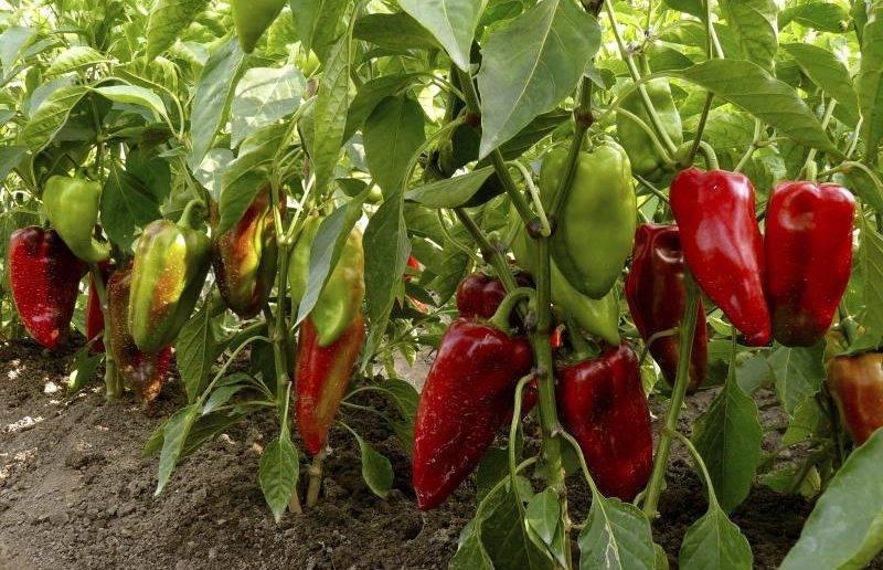Чем подкормить перец: как и чем лучше подкармливать перец для роста в открытом грунте и в теплице (125 фото и видео)