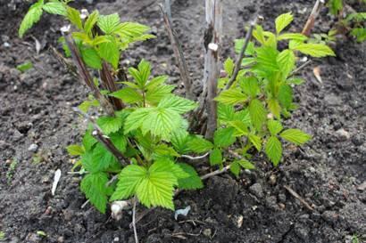 Как ухаживать за малиной весной: советы бывалых садоводов