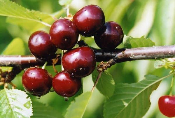 Описание сорта вишни Краса Севера и характеристики плодов и дерева, выращивание