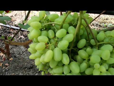 Посадка и уход за виноградом в сибири, выбор сорта и схема выращивания для начинающих