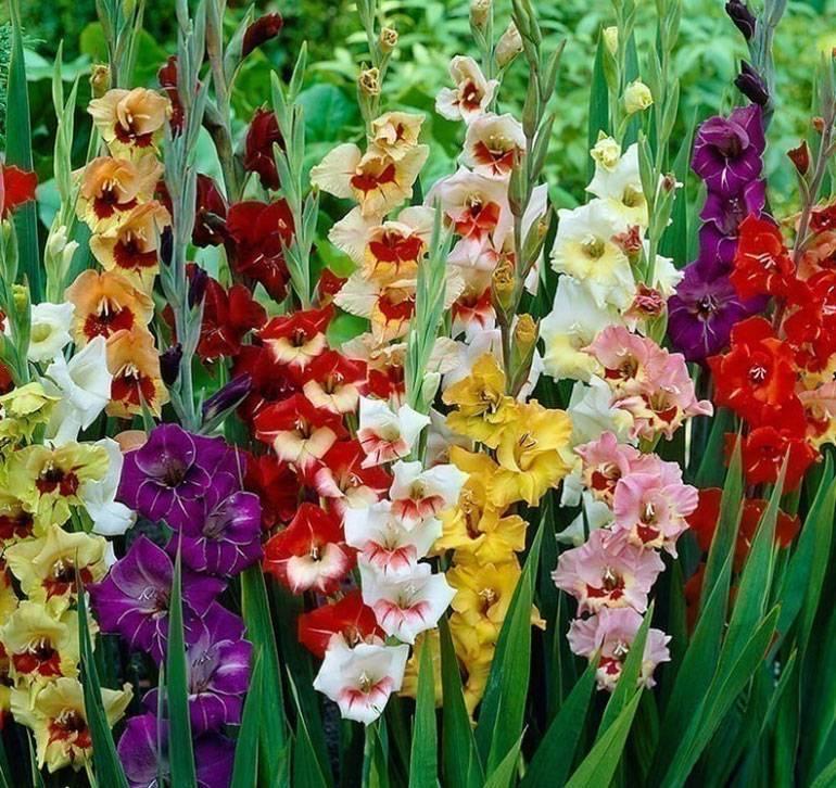 Гладиолусы посадка и уход в открытом грунте, выращивание и размножение шпажника, цветок-меч виды и сорта с названиями и фото