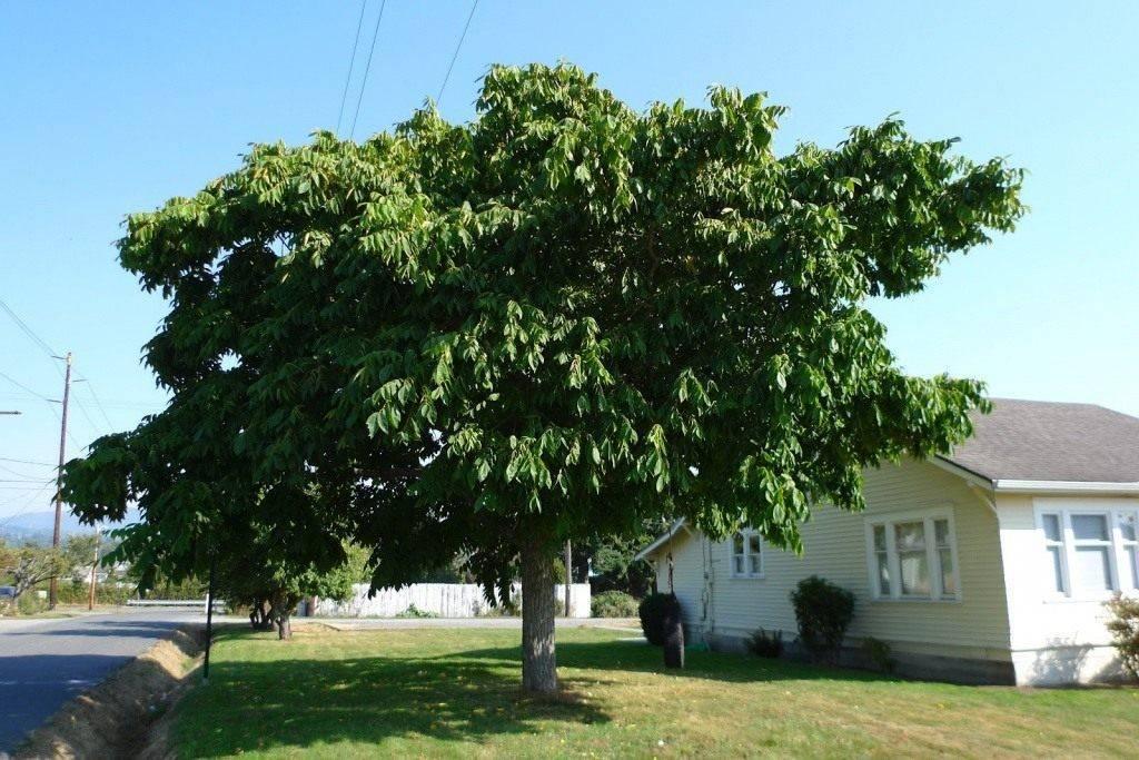 3 сорта грецкого ореха, которые можно посадить осенью. пошаговая инструкция, как это правильно сделать